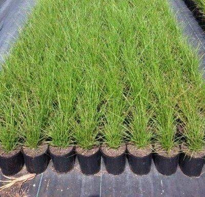 Carex appressa 140mm