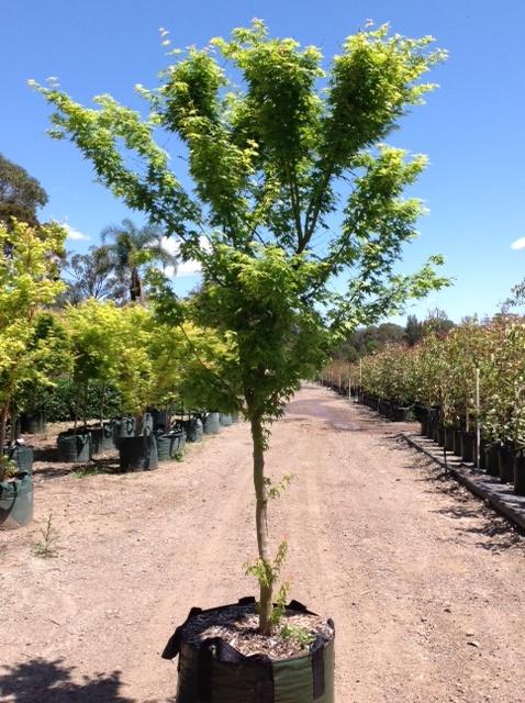 Acer palmatum 'Senkaki' 200lt