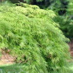 Acer palmatum 'Dissectum (weeping standard)'