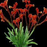 Anigozanthos hybrid'AMBER VELVET' PBR