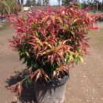 Callistemon salignus 'Great Balls of Fire'