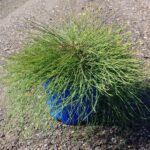 Casuarina glauca 'Cousin It'