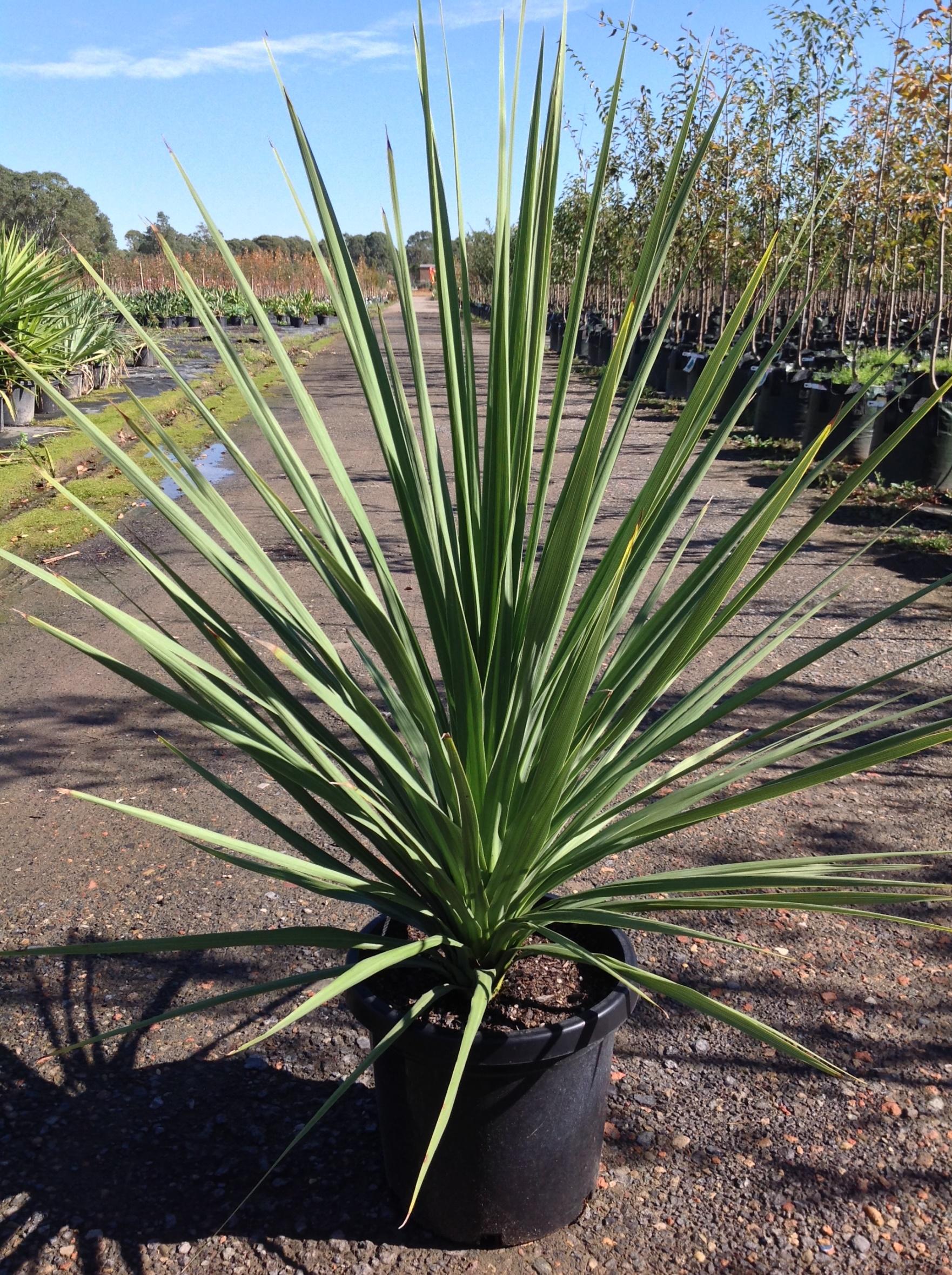 Cordyline australis andreasens green wholesale nurseries - Interior plant maintenance contract ...