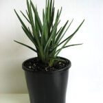Dianella revoluta 'DR5000' PBR Little Rev™