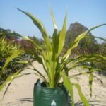 Doryanthus excelsa