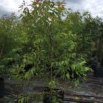 Eucalyptus microcorys