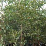 Eucalyptus amplifolia