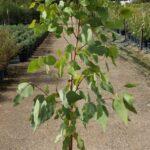 Eucalyptus fibrosa