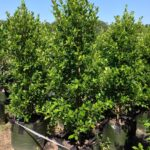 Ficus microcarpa var. hillii 'Flash'