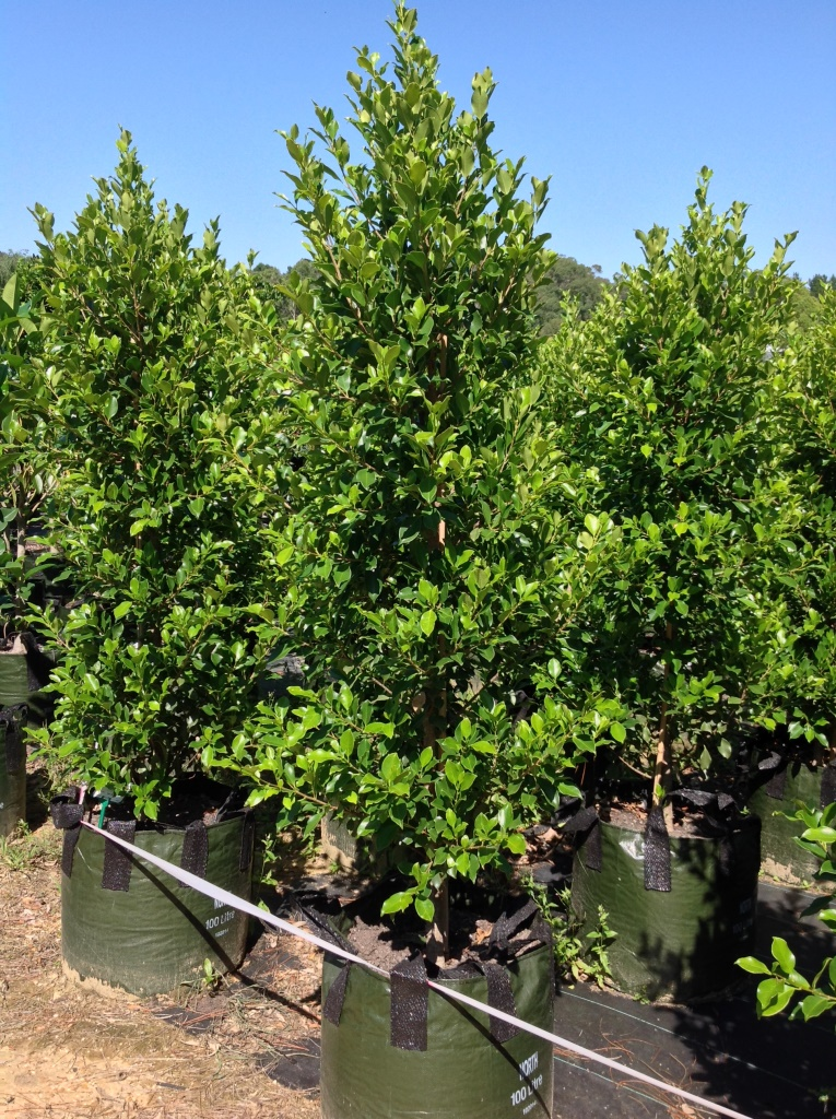 ficus microcarpa var hillii flash andreasens green wholesale nurseries. Black Bedroom Furniture Sets. Home Design Ideas