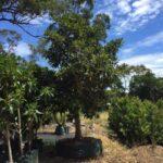 Ficus macrophylla