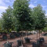 Fraxinus pennsylvanica 'Urbanite'