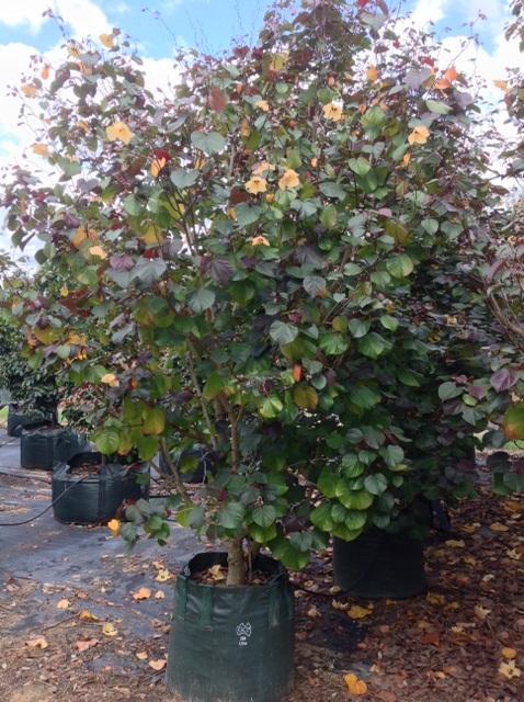 Hibiscus Tiliaceus Rubra Andreasens Green Wholesale Nurseries