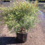 Melaleuca linariifolia 'Snowstorm'