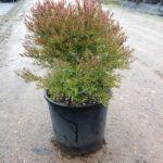 Melaleuca linariifolia 'Claret Tops'
