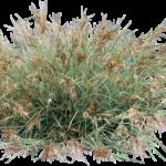 Themeda australis 'MINGO' PBR