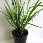 Lomandra longifolia 'KATRINUS' PBR