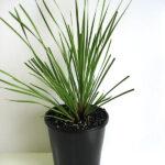Lomandra longifolia 'LM300' PBR Tanika®