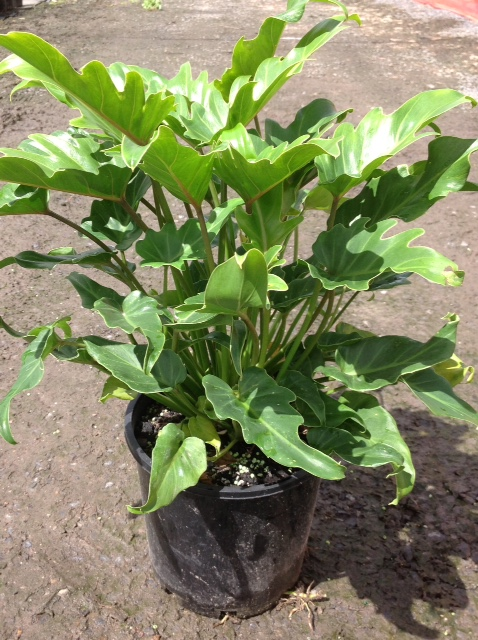 Philodendron 'Xanadu' on