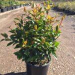 Syzygium australe 'Aussie Boomer'