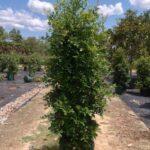Syzygium australe 'Resilience'