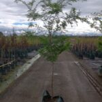 Ulmus parvifolia 'Murrays Form'