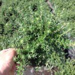 Westringia fruticosa 'WES05' PBR Mundi™