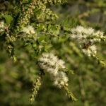 Melaleuca styphelioides