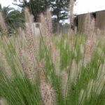 Pennisetum alopecuroides 'PA300' PBR Nafray®
