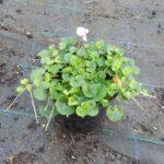 Viola hederacea