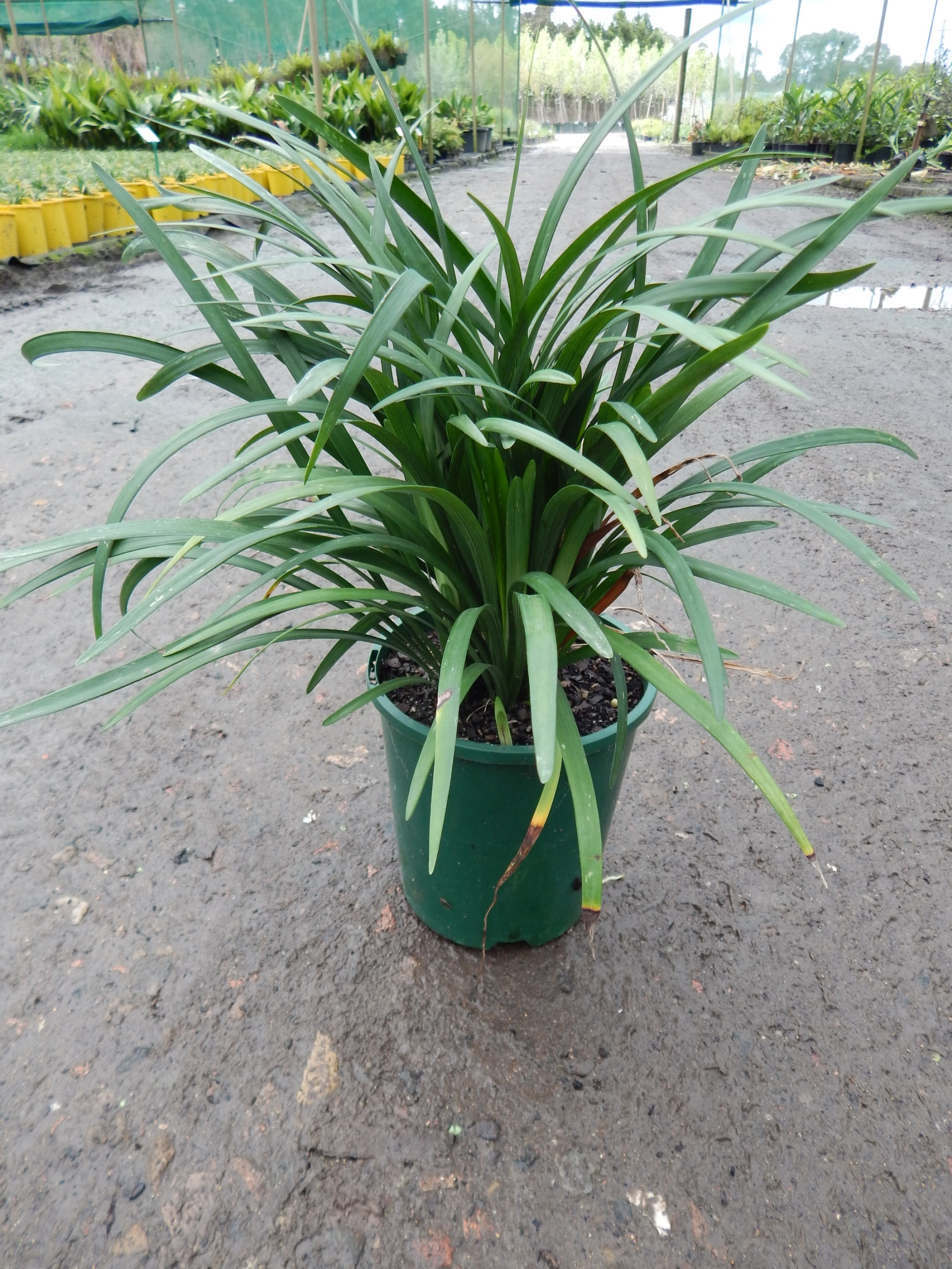 Asparagaceae Andreasens Green Wholesale Nurseries