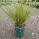 Lomandra longifolia 'Verday'