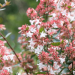 Abelia x grandiflora with small white flowers and foliage