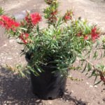 Callistemon viminalis 'Captain Cook'