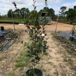 Camellia sasanqua 'Pure Silk'