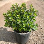 Escallonia macrantha 'Pink Pixie'