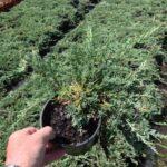 Juniperus horizontalis 'Glauca'