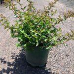 Abelia x grandiflora 'Nana'