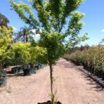 Acer palmatum 'Senkaki'
