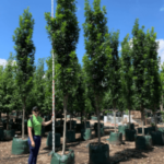 Quercus palustris 'Pringreen' - Green Pillar