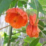 Abutilon x hybridum (orange flower)
