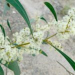 Acacia falcata