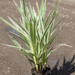 Dianella ensifolia hybrid 'Silver Streak' 140mm