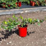 Trachelospermum asiaticum 'FT01' PBR Flat Mat™ 300mm