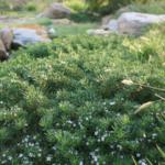 Myoporum parvifolium 'PARV01' PBR Yareena™